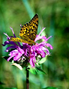 2005-7-Bee-Balm-with-Orange-Butterfly4